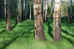 Birch forest Stock Photography