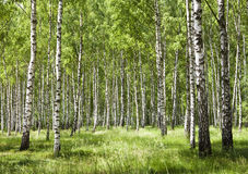 Birch forest 2. Birch forest in daylight. White birches and green grass royalty free stock image