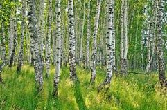 Birch forest. Birch Grove. White birch trunks. Spring sunny forest stock photos