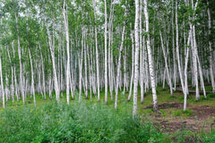 Free Birch Forest Stock Image - 24636721