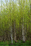 Birch Forest. Young birch forest in springtime sunny day Royalty Free Stock Photo