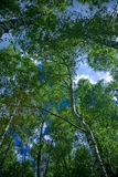 Birch forest. A birch forest seen from below Stock Image
