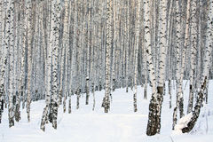 Birch forest Royalty Free Stock Image