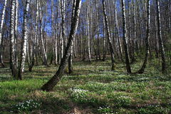 Birch forest. In spring royalty free stock images