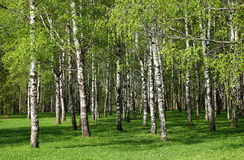 Birch forest. Stock Photography