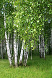 Birch forest. Birch trees in a forest Stock Photo