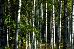Birch forest. A forest consisting of mainly birch trees Stock Image