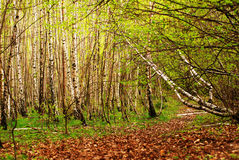 Birch forest. Photo of a dense, birch trees forest royalty free stock photography