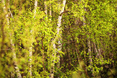 Birch forest. Background of a green birch forest Royalty Free Stock Images