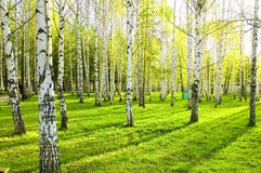 Free Birch Forest Royalty Free Stock Photos - 5408778