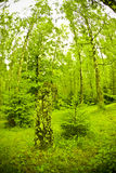 Birch Forest. Green birch forest rising tall stock photography