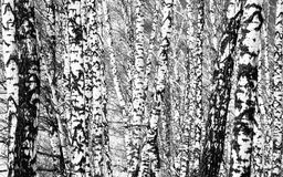 Birch forest Stock Photo