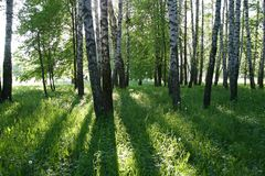 Birch forest. With long shadows Stock Photography