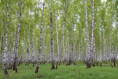 Free Birch Forest Stock Photo - 94323010