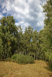 Birch forest against the blue sky. Stock Photo