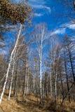 Birch Stock Photos