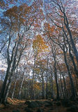 Birch forest in autumn. And wooded landscape Stock Images