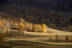 Birch forest in autumn Royalty Free Stock Photography