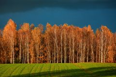 Birch Forest in Autumn Royalty Free Stock Photo