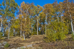 Birch forest in autumn Stock Images