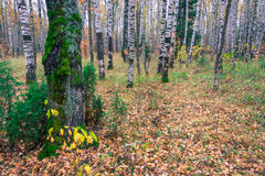 Birch forest in autumn. Autumn birch forest. Brightly colored autumn colors Royalty Free Stock Photography