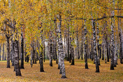 Birch forest, autumn day Royalty Free Stock Images