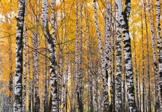 Birch forest, autumn day Stock Photography