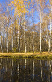Birch forest autumn Royalty Free Stock Images