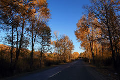 Birch forest in autumn Stock Photography