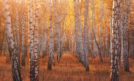 Birch forest in autumn season. Panoramic view at evening. Selective focus. Birch forest in autumn season. Panoramic view at evening with sunlight. Selective royalty free stock photography