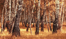 Birch forest while autumn season Stock Images