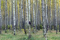 Birch forest in autumn, tree trunks, yellow leaves. Green grass under the trees stock image