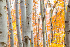 Birch forest in autumn with vibrant yellow leaves Stock Image