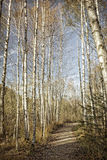 Birch forest in autumn, vintage look Royalty Free Stock Images