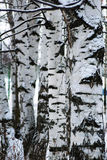 Birch forest background, black and white. Nature Royalty Free Stock Images