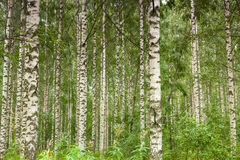 Birch forest. Beautiful birch forest during summer time stock photo