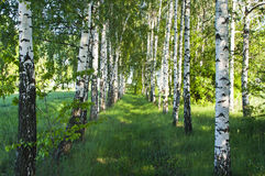 Birch forest. Birch Grove. Stock Images