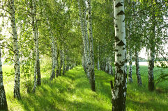 Birch forest. Birch Grove. White birch trunks. Stock Photos
