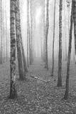 Birch forest, black-white photo Royalty Free Stock Photo