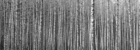 Birch forest, black-white photo Stock Photography
