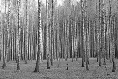 Birch forest, black-white photo Royalty Free Stock Photography