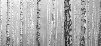 Birch forest, black-white photo Stock Image