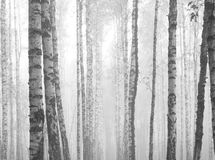 Birch forest, black-white photo. Autumn landscape royalty free stock images