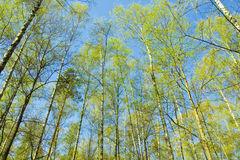 Birch forest on blue sky Royalty Free Stock Images