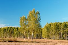 Birch with forest on blue sky Stock Photo