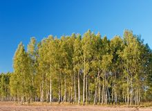 Birch with forest & blue sky at background Royalty Free Stock Images