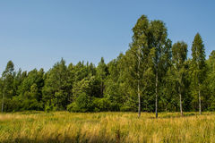 Birch forest with blue sky photo. stock image