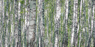 Birch forest in bright sunny day Royalty Free Stock Images