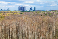 Birch forest and city on horizon in spring day Royalty Free Stock Images