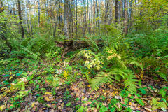 Birch forest covered with ferns (Polystichum braunii) Royalty Free Stock Images